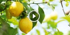 زراعة الليمون ومكافحة النيماتودا واعفان الجذور