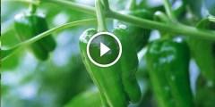 زراعة الفلفل الاخضر وطرق مكافحة اهم الافات بالتفصيل
