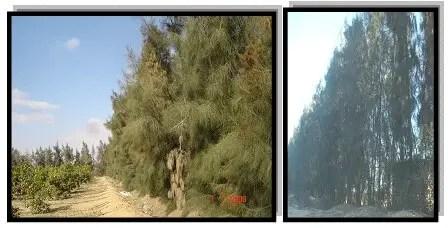 أشجار كازوارینا مصدات للریاح تحیط بالبستان مع ترك مسافة 5متر حتى أول صف