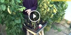 فيديو .. كيفية زراعة الطماطم