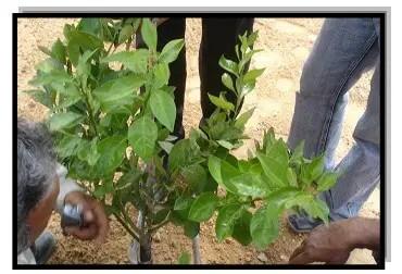 شتلة برتقال مواصفاتها جیدة بعد الزراعة بالمكان المستدیم