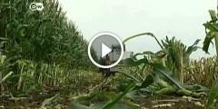 ما لا تعرفه عن زراعة الذرة