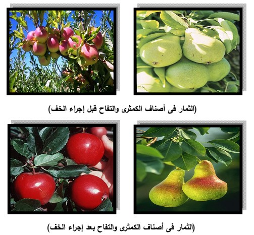 خدمة اشجار التفاح و الكثمري