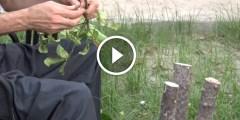فيديو .. طريقة مبتكرة لتطعيم الأشجار