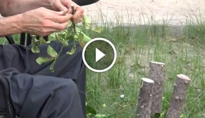 فيديو .. طريقة تطعيم الأشجار من البداية الى النهاية باللغة الإسبانية