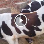 فيديو .. مخاطر ادخال علف ذو بروتين عالى للابقار والجاموس