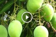 فيديو .. زراعة المانجو التمسيد والتحجيم او زيادة حجم الثمار والتلوين