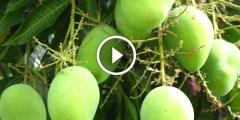 زراعة المانجو التمسيد والتحجيم او زيادة حجم الثمار والتلوين