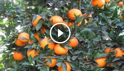 فيديو .. زراعة البرتقال الصيفى واهم المعاملات اثناء فترة الحصاد للحفاظ على المحصول الجديد
