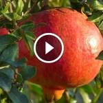 فيديو .. محصول الرمان و ازالة السرطانات و طرق التقليم والتطهير بعد التقليم