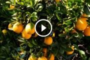 فيديو .. زراعة البرتقال التمسيد والمغذيات خلال النقطة او تكوين العقد داخل الثمرة ومكافحة دودة الانفاق