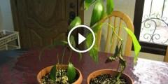 فيديو .. زراعة أشجار المانجو من البذر