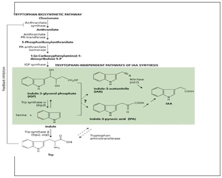شكل (4) :التخليق الحيوي لـحامض إندول الخل ( AIA)حسب . (Wildman et Bonner (1948