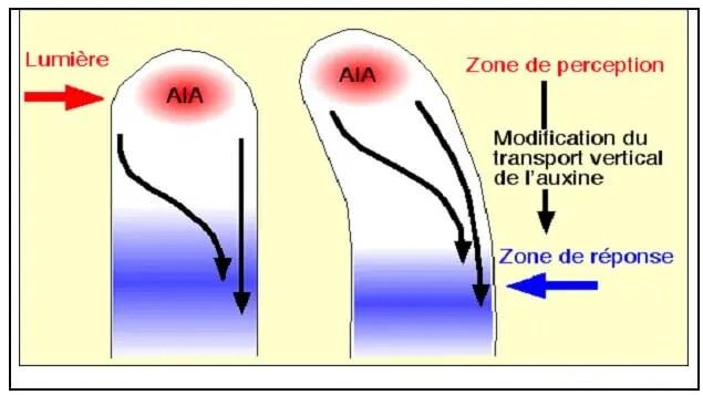 شكل(9 ) : الإنتقال الجانبي لللأوكسينات
