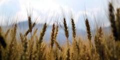 دورة حياة نبات القمح