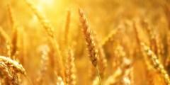 التركيب المورفولوجي لنبات القمح