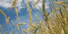 تأثير الملوحة على نبات القمح