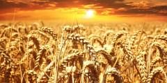 الإحتياجات البيئية لنبات القمح