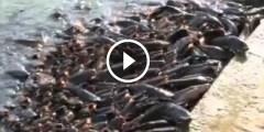 فيديو ..تربية أسماك القراميط فى حديقة المنزل