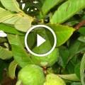 زراعة الجوافة واهم المعاملات الزراعية ومكافحة اخطر الافات