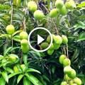 زراعة المانجو القزمية الكيت فى مصر وطرق مكافحة اخطر الافات