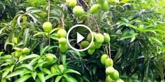 فيديو .. زراعة المانجو القزمية الكيت فى مصر وطرق مكافحة اخطر الافات