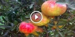 زراعة الرمان الوندرفل واهم المعاملات والتسميد ومكافحة اخطر الافات قبل الحصاد