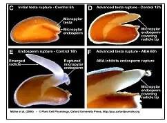 شكل : تأثير حامض الإبسيسيك على إنبات البذور(Muller, 2006).