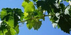 الدورة السنوية عند شجرة العنب