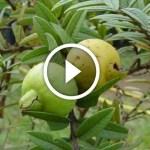 فيديو .. زراعة الجوافة ومعالجة الملوحة و المغذيات اللازمة لنمو الخضرى والتزهير وزيادة الانتاج