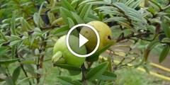 زراعة الجوافة ومعالجة الملوحة و المغذيات اللازمة لنمو الخضرى والتزهير وزيادة الانتاج