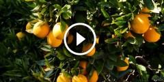زراعة البرتقال معالجة الملوحة والتصمغ والفيروسات والحشرات القشرية