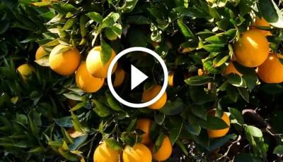 فيديو .. زراعة البرتقال معالجة الملوحة والتصمغ والفيروسات والحشرات القشرية
