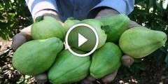 فيديو .. زراعة الجوافة فكرة تحويل الجوافة الصيفي الى الجوافة الشتوي