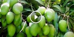 فيديو .. زراعة المانجو ومكافحة الذبابة