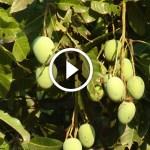 فيديو .. زراعة المانجو مكافحة العنكبوت الاحمر وارتفاع المفاجي لدرجة الحرارة