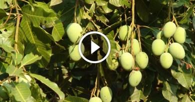 زراعة المانجو مكافحة العنكبوت الاحمر وارتفاع المفاجي لدرجة الحرارة