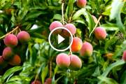 فيديو .. زراعة المانجو ومكافحة العفن الهبابي والحشرة القشرية او الندوة العسلية