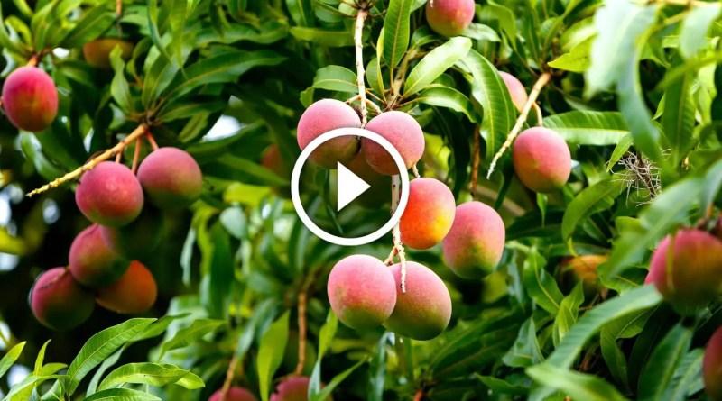 زراعة المانجو ومكافحة العفن الهبابي والحشرة القشرية او الندوة العسلية