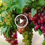 فيديو .. زراعة العنب الطريقة الصحيحة لجمع محصول العنب واهم الاخطاء الشائعة