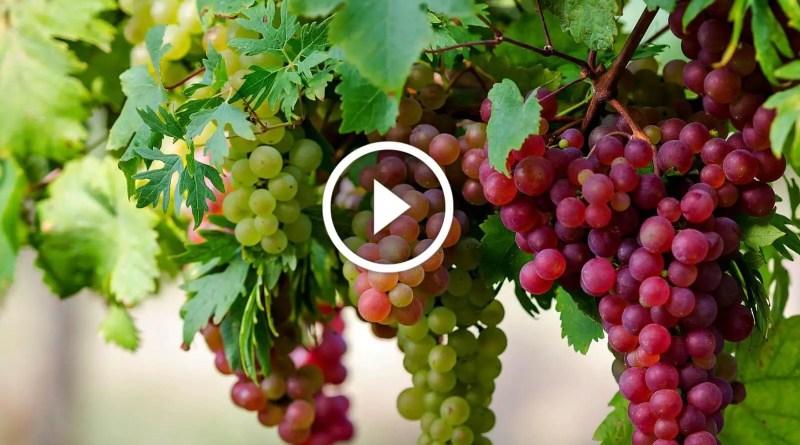 زراعة العنب الطريقة الصحيحة لجمع محصول العنب واهم الاخطاء الشائعة
