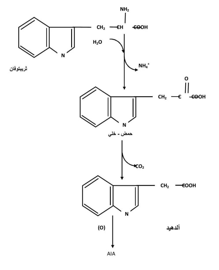 الشكل ) : (03التفاعلات المؤدیة الى تركیب حمض الأندول الخلي )(A