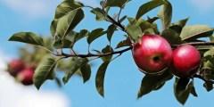 فيديو .. زراعة التفاح مكافحة النيماتودا واعفان الجذور