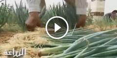 زراعة البصل الفوتون الياباني للتصدير بنظام البيفوت فى الاراضي الرملية