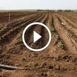 فيديو .. زراعة البطاطس طرق تجهيز الارض قبل البدء فى الزراعة