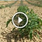 فيديو .. زراعة الطماطم اضرار زيادة التسميد الازوتي واهمية الاحماض الامينية لزيادة التزهير