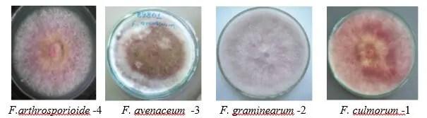 شكل1:أنواع فطرF.roseum (Dequeiroz, 2007)