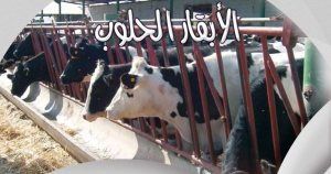 الأبقار الحلوب