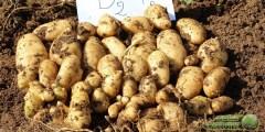 تأثير التسميد في نوعية درنات البطاطا