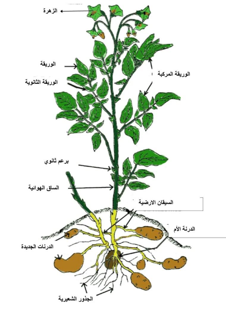 الشكل (01) : المظهرالعام لنبات البطاطا